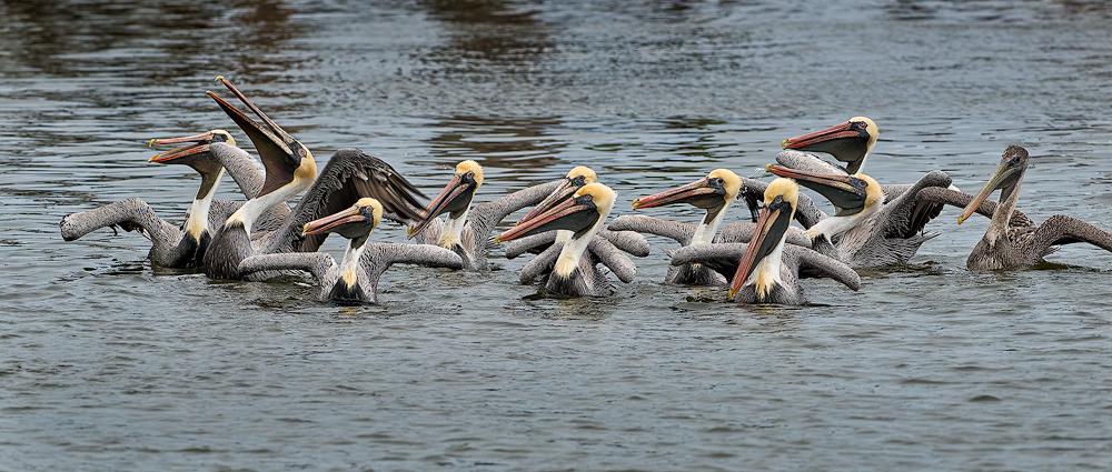 Pelicans20140221_D800_9235