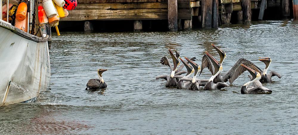 Pelicans20140221_D800_9250