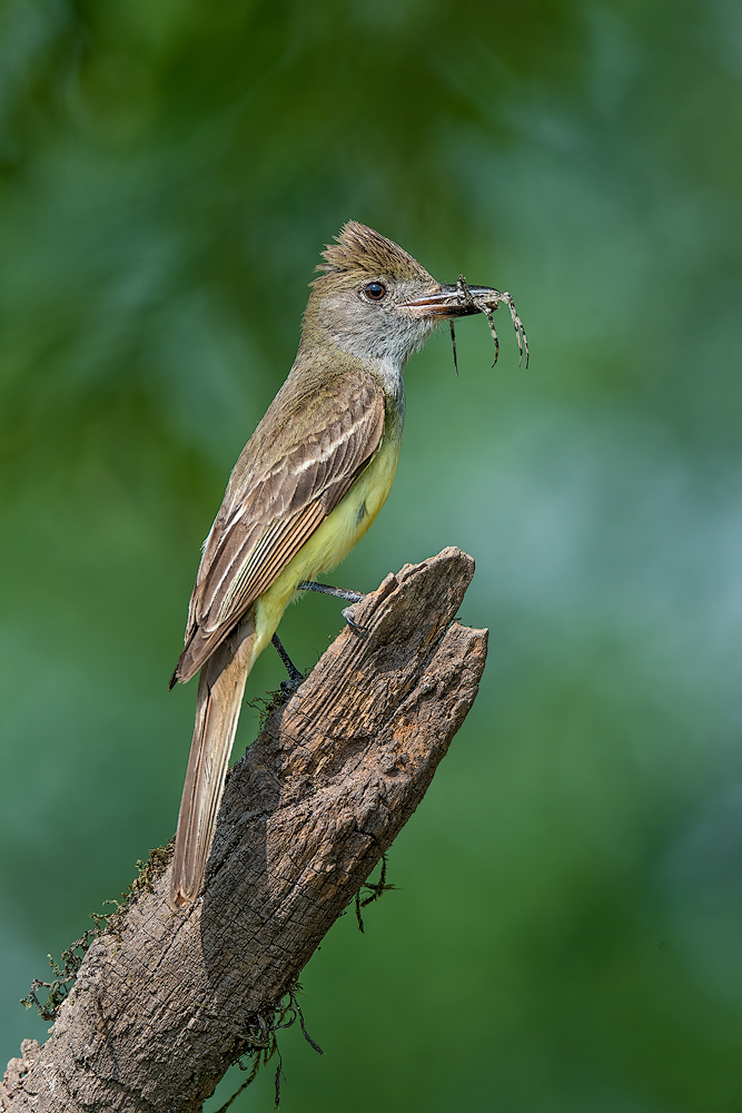 GCFlycatcher20140714_D800_2120-copy