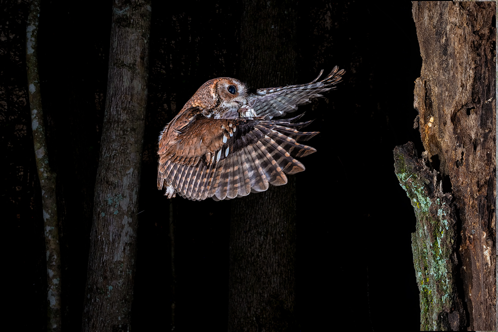 Eastern Screech Owl with Frog