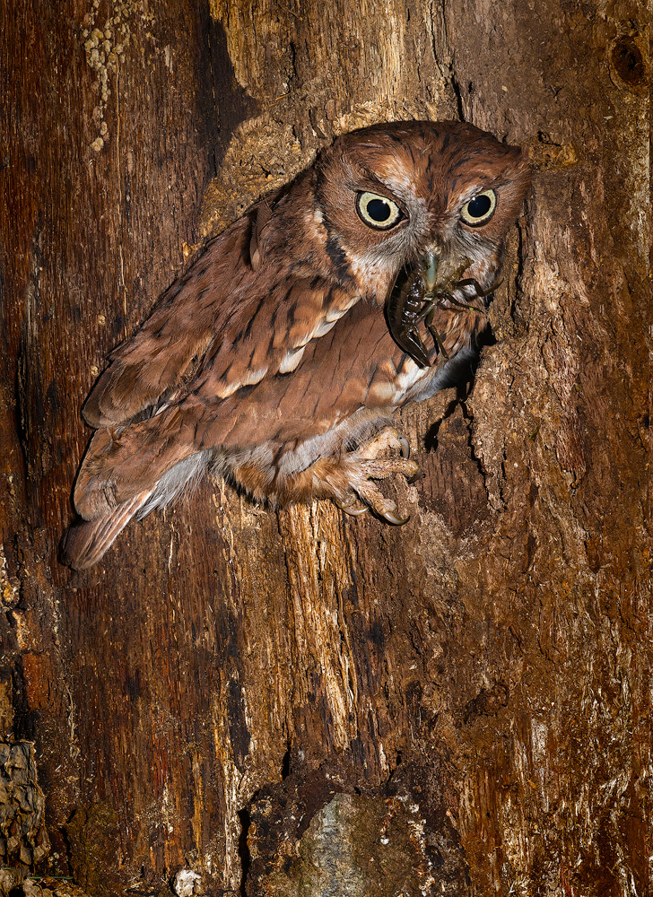 eastern screech owl at nest with crayfish