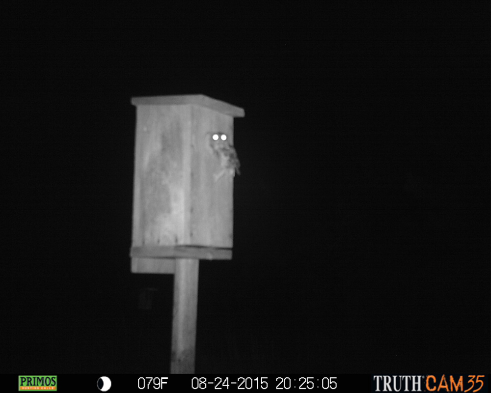 Screech Owl captured by trail camera