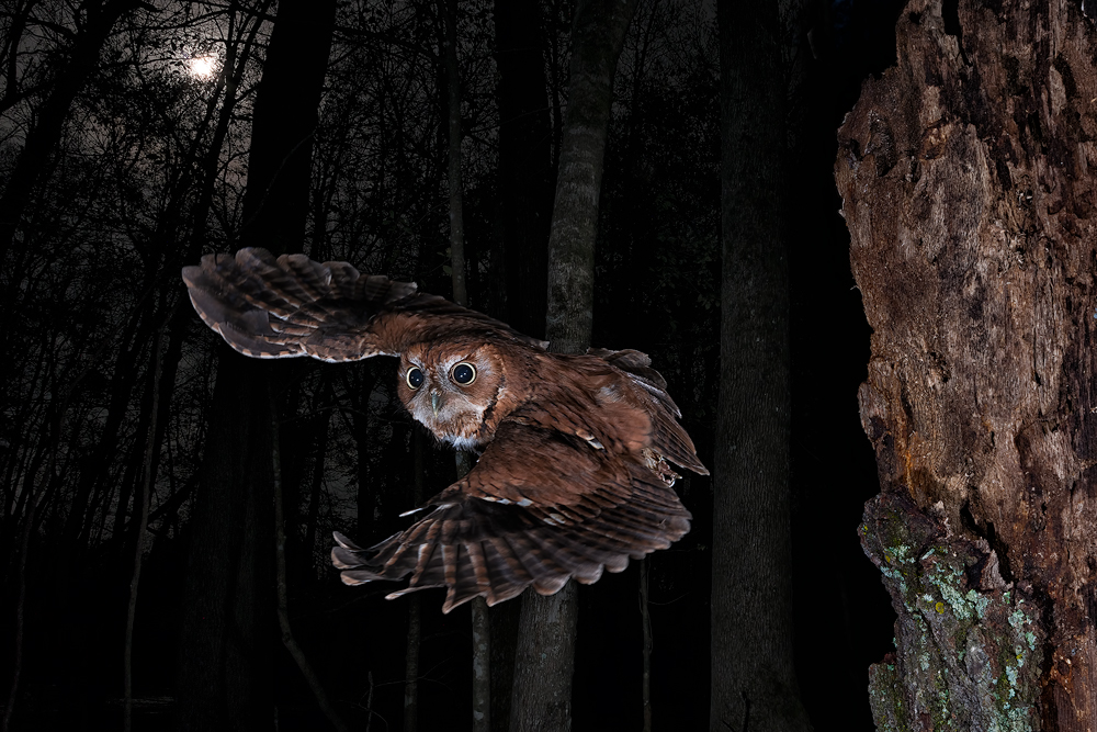 Eastern Screech owl in flight
