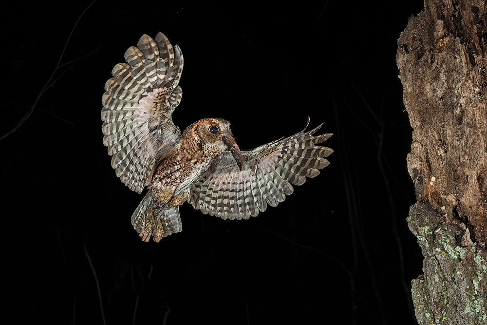 photographing eastern screech owl