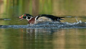 WoodDuck-Rush2NR-TopInFoc_DSC7614-copy.jpg