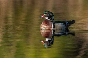 Wood-Duck20140315_0539-copy.jpg