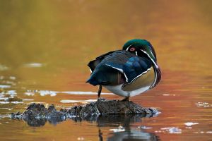 WoodDuck200910_5757NREdgShrp-copy.jpg