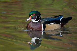 WoodDuck200910_6565NREdgShrp-copy.jpg