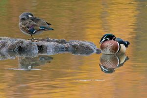 WoodDuck200910_7170NREdgShrp-copy.jpg