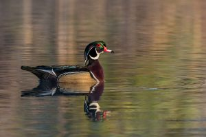 WoodDuck20150307_D800_5231-copy.jpg
