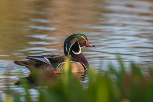 WoodDuck20160417_D800e_2244-copy.jpg