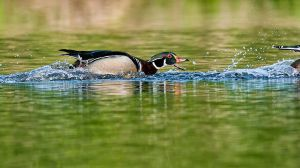 WoodDuckNRPKNrrwEdgNik[TonalContr-21MP20120525_d800e_0800-copy.jpg