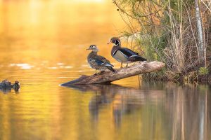 WoodDuckPair-NRNikDetExtShrpPro20160409_1961-copy.jpg