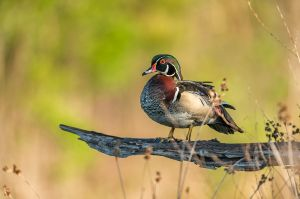 WoodDuckPerched20160424_D800_2424-copy.jpg