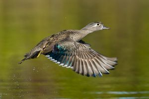 WoodDuckheninFlight20150308_D800_5754-copy.jpg