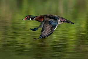 WoodDuckinFlight20160507_D800_2657-copy.jpg