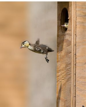 WoodDuckling201003_8872CS-copy-2.jpg