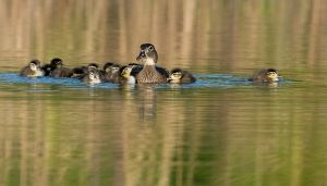 WoodDucknDucklings201004_0393NRCS-copy.jpg