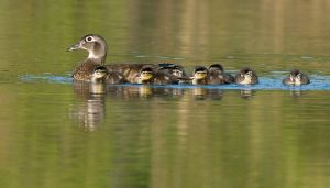 WoodDucknDucklings201004_0404NRCS-copy.jpg