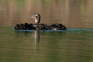 WoodDucknDucklings201004_0433NRCS-copy.jpg