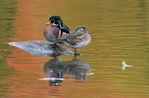 WoodDuckpair200910_5193NREdgShrp-copy.jpg