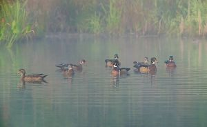 WoodDucksNRPKSuperShrp20120915_D800_3308-copy.jpg
