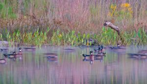 WoodGhostDucks20120924NRTopInFocusPKSuperShrp_D800_4694-copy.jpg