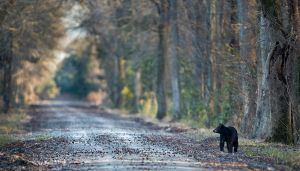 Black Bear at Pocosin Lakes NWR