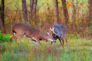 Two bucks fighting, Cades Cove