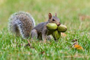 Gray Squirrel with pecans
