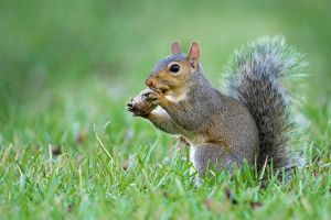 Gray Squirrel with pecan