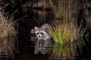 Raccoon feeding at night