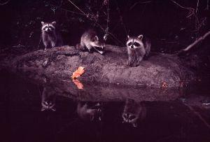 Raccoons feeding at night
