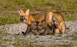 Red Fox feeding kits