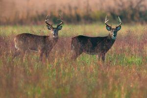 Two Bucks at Cades Cove