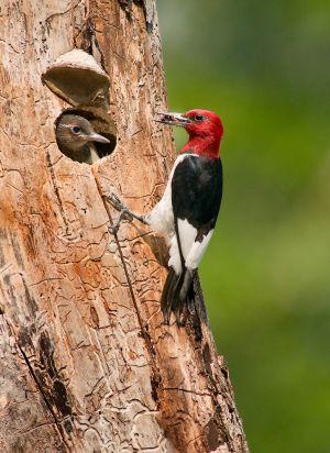 RedHeaded-Woodpecker-200808_7719NREdgeShrp-copy.jpg