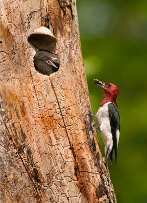 RedHeaded-WoodpeckerNRCS200808_7685-copy.jpg