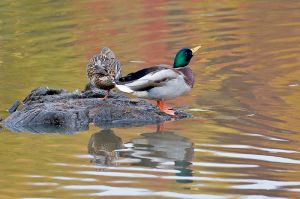 Mallardpair200910_5097NRCS-copy.jpg