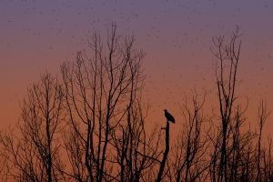 Bald Eagle and Red-winged Blackbirds