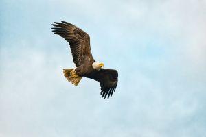 Bald Eagle at Pocosin Lakes NWR