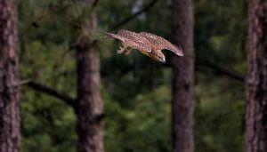 Redtailedhawk0507_0516.jpg