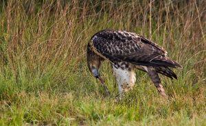 Redtailedhawkwprey0507_3968.jpg